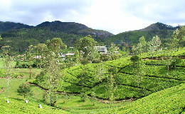 Tea Plantation in Hatton