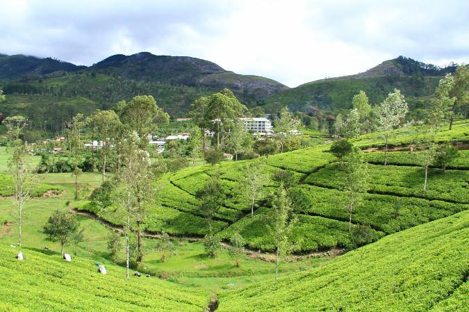 Hatton Tea Gardens